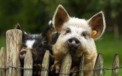Свиньи за забором