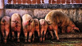 Свинные задницы