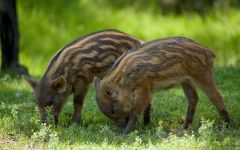 Поросенок дикой свиньи