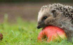 Маленький еж и яблоко, фотография фото  обои