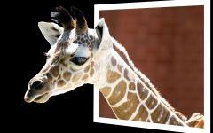 Картинки жирафа, фотография  фото обои