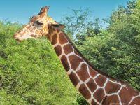Жирафо