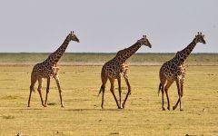 Какой жираф?