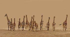 Жирафы везде