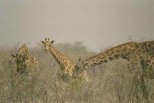 Смотреть на жирафа, фотография фото  обои