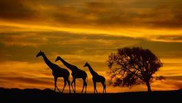 3 жирафа