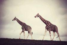 2 жирафа