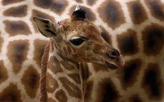 Цвет жирафа