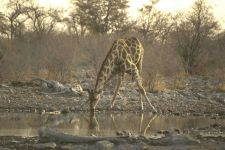 Жираф африканский