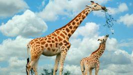 Жираф википедия