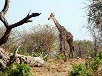 Высота жирафа