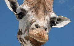 Любознательный жираф