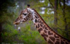 А у жирафа шея длинная