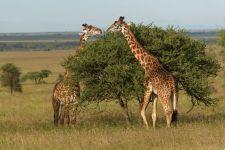 Что едят жирафы?