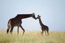 Жираф дикий, фотография фото  обои