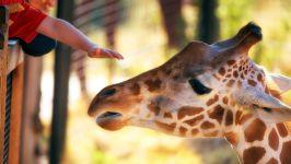 Ручной жираф