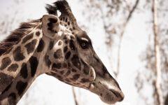 Как кричит жираф?