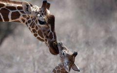Жираф мама
