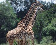 Вес жирафа