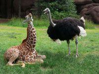 Жираф и страус,  фото фотография обои