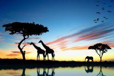 Силуэты жирафов и слона на закате