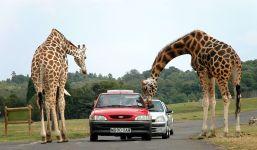 Жирафы склонились над машиной