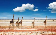 Интересно о жирафах
