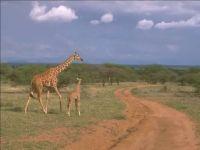 Однажды жирафа, фотография  обои фото