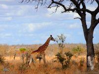 Ходит жираф