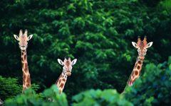 Факты о жирафах