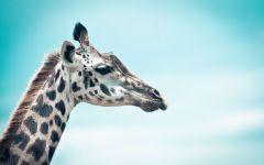 Жираф на