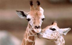 Жираф беременность, фото обои фотография
