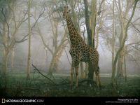 Сколько весит жираф?, фотография фото  обои