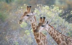 Рога жирафа