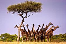 Что делают жирафы?