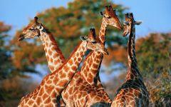 Как общаются жирафы?