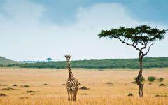Шёл по африке жираф