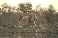 Жираф информация обои