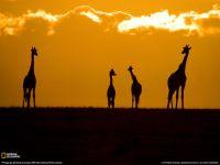 Какой высоты жираф?