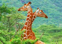 Как выглядит жираф?, фотография фото  обои