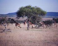 Жираф реферат