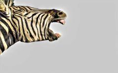 Голова зебры обои