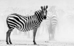 Почему зебра черно белая?, фото обои фотография