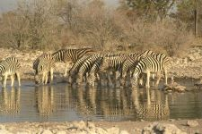 Африка животные зебра