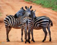 Зебра животное википедия обои