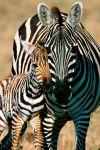 Зебра обои на