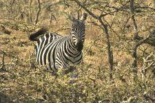 Зебра прячется в траве обои