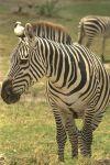 Цвет зебры
