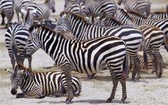 Виды зебр обои