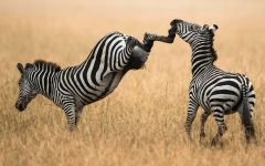 Брыкающаяся зебра, фотография фото  обои